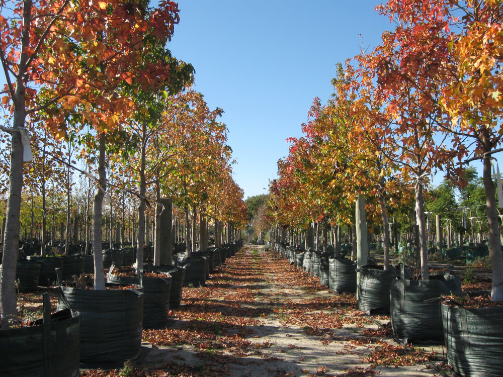 Picture of Mature Trees Ready for Planting