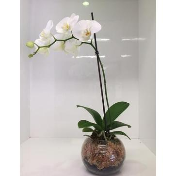 more on White Phalaenopsis Plant