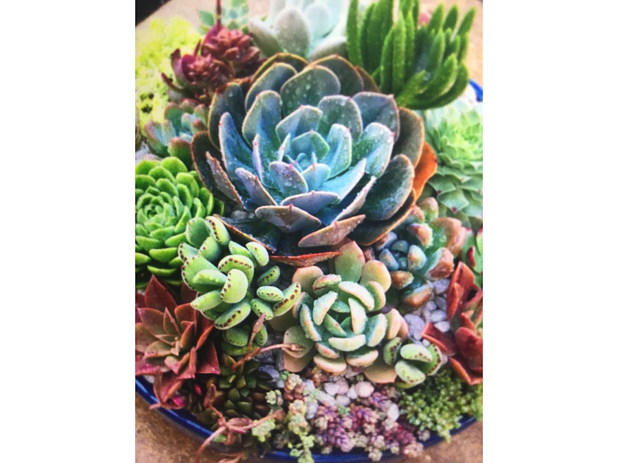 Sunshine Succulents - One of kind in cool white wok bowl 30cm - Image 2