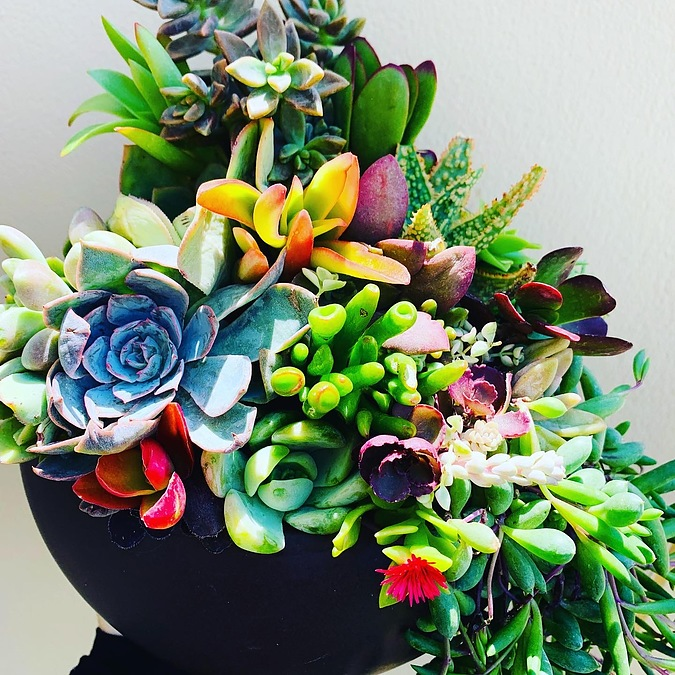 Sunshine Succulents- chocolate brown fish bowl full of succulents - - Image 1