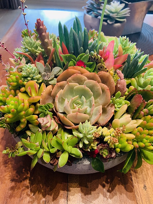 Sunshine Succulents -sunshine- succulent choice surprise 23cm - - Image 2