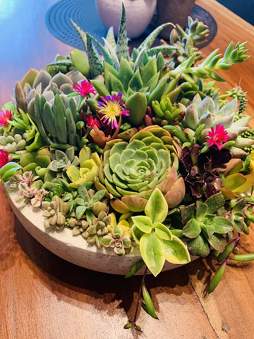 Sunshine Succulents -sunshine- succulent choice surprise 23cm - - Image 4
