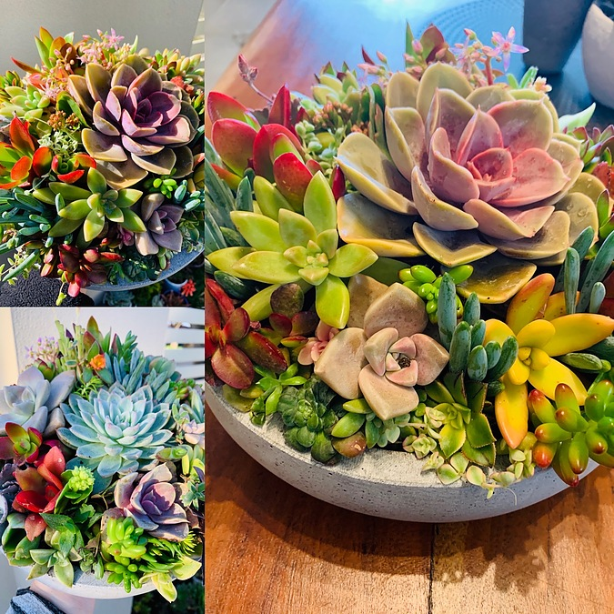 Sunshine Succulents mix all lovely bright colours - - Image 3