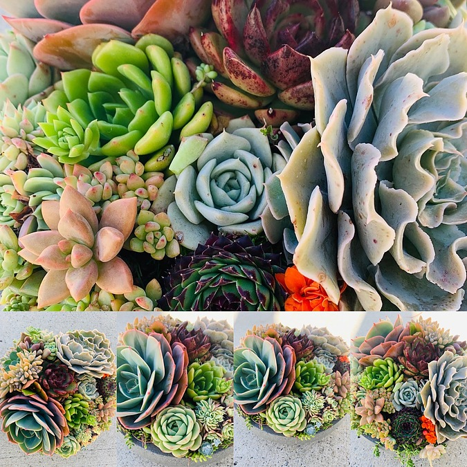 Sunshine Succulents-charcoal-23cm bowl full of rosettes - - Image 4