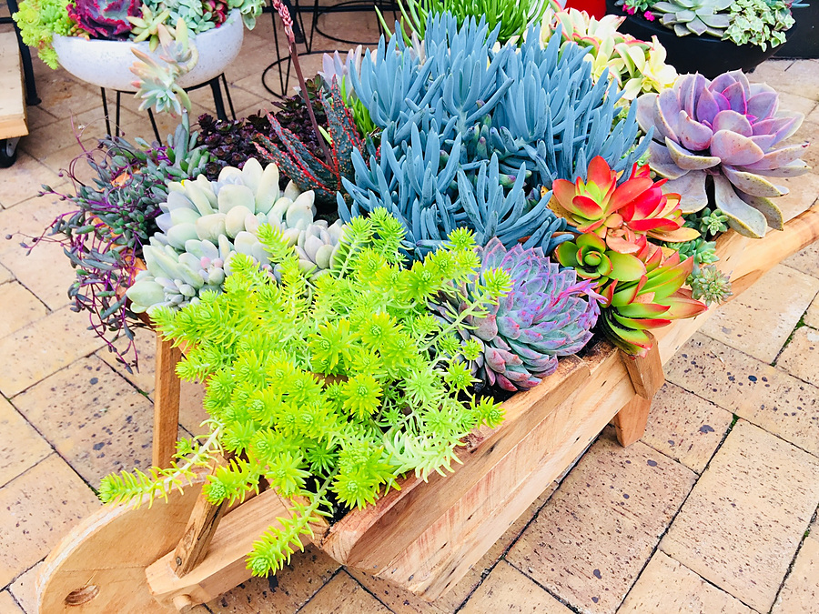 Sunshine Succulents - One of kind rustic wooden wheelbarrow 1metre in length - Image 2
