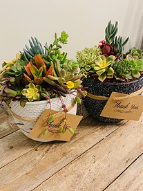 more on A -mix -of -13cm -bowls -of -sunshine- -succulents -choice -