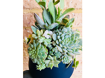 more on Sunshine Succulents - Midnight blue bowl 12cm full of colour