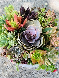 more on Sunshine Succulents-23cm succulent bowl -