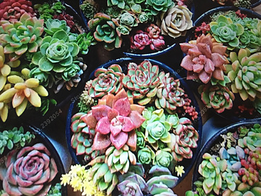 more on Sunshine Succulents - Mixed glazed blue pots  full of colour