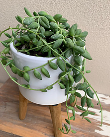 more on Sunshine Succulents white mini bowl with wooden base 13cm -