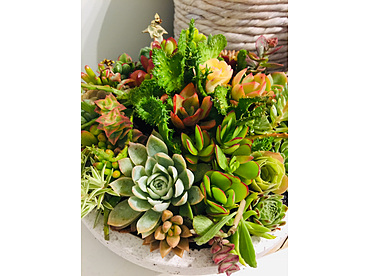 more on Sunshine Succulents - White wok style succulent bowl 24cm  full of colour