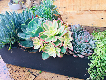 more on Sunshine Succulents - Urban style table runner 60cm  full of succulents
