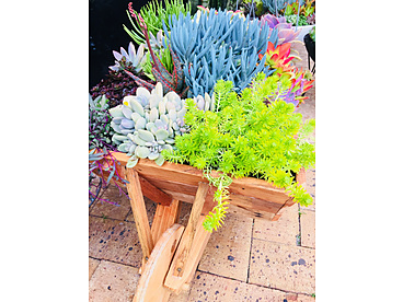 more on Sunshine Succulents - One of kind rustic wooden wheelbarrow 1metre in length