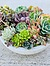 more on Sunshine Succulents-charcoal- 30cm -wok- style -succulent -bowl -