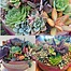 more on Sunshine Succulents- urban cement succulent bowls 25cm-