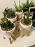 more on Sunshine Succulents-charcoal- 15cm mini white bowl with stand-