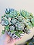Photo of Sunshine Succulents - 13cm poka dot bowl with mini feet -